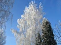 Abedul del invierno Fotografía de archivo