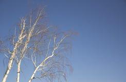 Abedul del invierno Fotografía de archivo libre de regalías