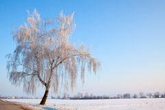 Abedul del invierno Imágenes de archivo libres de regalías