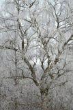 Abedul del invierno Fotos de archivo libres de regalías