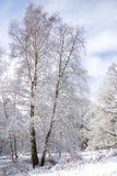 Abedul del invierno Foto de archivo
