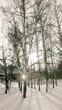 Abedul del invierno Foto de archivo libre de regalías