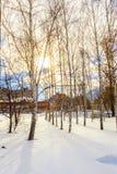 Abedul del invierno Imagenes de archivo