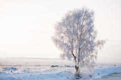 Abedul del invierno en la helada en el campo Imagen de archivo