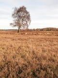 Abedul del invierno en tierra Fotografía de archivo libre de regalías