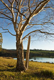 Abedul del invierno por el lago Foto de archivo libre de regalías