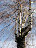 abedul del Multi-tronco en invierno Foto de archivo
