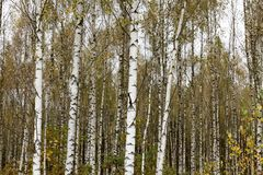 Abedul del otoño Imagen de archivo