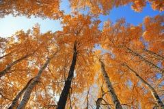 Abedul del otoño Imagenes de archivo