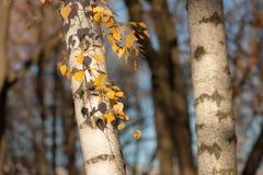 Abedul del otoño Fotos de archivo libres de regalías