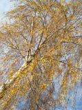 Abedul (2) del otoño Fotografía de archivo