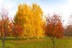 Abedul del otoño Fotos de archivo