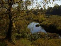 Abedul del otoño Fotografía de archivo
