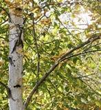 Abedul del otoño Fotografía de archivo libre de regalías