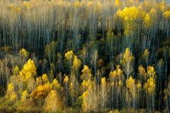 Abedul del otoño Foto de archivo