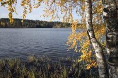 Abedul del otoño con las hojas amarillas Imagen de archivo