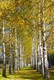Abedul del otoño con las hojas amarillas Fotografía de archivo