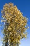 Abedul del otoño contra el azul del cielo Imagen de archivo libre de regalías