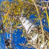 Abedul del otoño de debajo Fotos de archivo