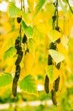 Abedul del otoño de la hoja y del grillo Imagen de archivo