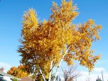 Abedul 2016 del otoño de Thornhill Fotos de archivo