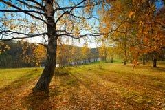 Abedul del otoño del paisaje Fotos de archivo