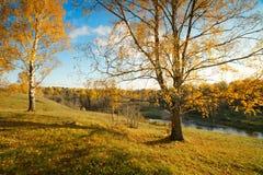Abedul del otoño del paisaje Fotos de archivo libres de regalías
