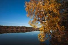 Abedul del otoño en el lago en el fondo del bosque debajo del cielo azul Fotografía de archivo