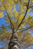 Abedul del otoño en el sol Imagenes de archivo