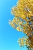 Abedul del otoño en fondo del cielo azul Imágenes de archivo libres de regalías