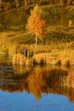 Abedul del otoño en la batería de río Foto de archivo libre de regalías