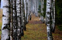 Abedul del otoño en la mañana brumosa Fotos de archivo libres de regalías