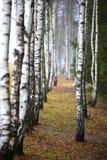 Abedul del otoño en la mañana brumosa Foto de archivo libre de regalías