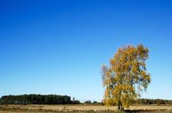 Abedul del otoño en paisaje rural Fotografía de archivo libre de regalías