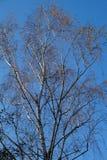 Abedul del otoño en un fondo del cielo azul, ramitas delicadas Imagenes de archivo