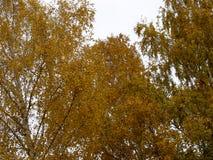 Abedul del otoño en un fondo del cielo nublado Imagen de archivo