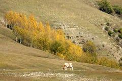 Abedul del otoño y vaca blanca Imagenes de archivo