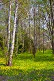 Abedul del resorte Imagen de archivo