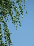 Abedul del resorte en el cielo azul Imágenes de archivo libres de regalías