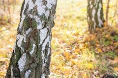 Abedul del tronco en paisaje del otoño Fotos de archivo libres de regalías
