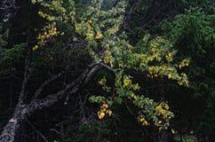 Abedul del verano tardío en una madera septentrional Imagen de archivo
