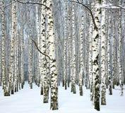 Abedul delgado del invierno y cielo azul Fotografía de archivo libre de regalías