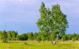 Abedul delgado solitario en campo verde Imagenes de archivo