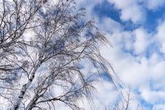 Abedul deshojado en invierno delante del cielo azul con las nubes Fotografía de archivo