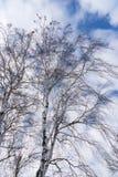 Abedul deshojado en invierno delante del cielo azul con las nubes Fotos de archivo