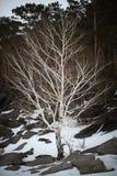 Abedul desnudo en el bosque del invierno Foto de archivo