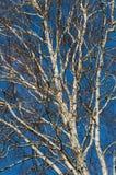Abedul desnudo en fondo del cielo azul Fotografía de archivo libre de regalías