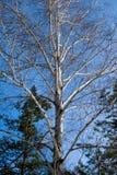 Abedul desnudo en un cielo azul del invierno en un bosque mezclado Fotografía de archivo libre de regalías