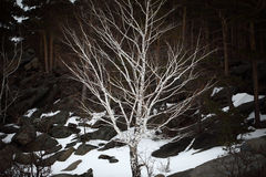 Abedul desnudo en una ladera en bosque del pino Imágenes de archivo libres de regalías