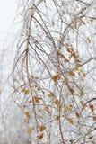 Abedul doblado bajo el peso del hielo Los efectos de la tormenta de hielo Fotografía de archivo libre de regalías